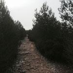 Passage dans la forêt de pins
