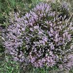 La bruyère fleurit les forêts landaises