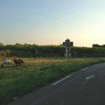 Chevaux dans la prairie