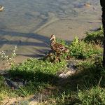 Cane et ses petits à la Tuilière