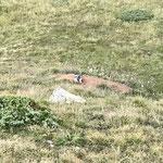 Une marmotte nous observant