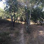 Chemin sous les chênes liège