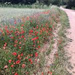 Quelques fleurs viennent agrémenter les champs de blés