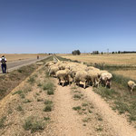 Le troupeau emprunte le chemin de Compostelle
