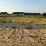 Nouveau champ d'oliviers