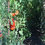 Tomates énormes