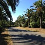 Superbes palmiers aux Parcs de Saint Tropez