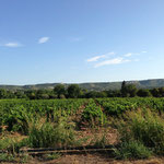 Départ dans les vignes de la Fare les Oliviers