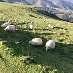 Des troupeaux pour le fromage basque