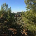 Champs d'oliviers plantés suite au dernier incendie