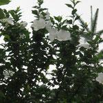 ムクゲは韓国の花だそうです花言葉は「信念」夕方には散ってしまう一日花と言われています。