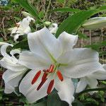カサブランカの花言葉は「純潔」「威厳」「無垢」「壮大な美」でユリ科の多年草。球根から育ち、ラッパ型のみごとな大輪の花が咲く。