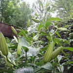 カサブランカの元々の原種は日本の山ゆりになります。見事な大輪の花を咲かせるので、「ユリの女王」ですね。