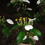 茎が白い崑崙花 (こんろんか)茎が赤いヒゴロモコンロンカ(緋衣崑崙花)又薄黄色のウスギコロンカ がある。