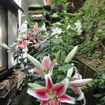 ここ数日猛暑続きで、お花にとっては、短すぎる開花期間になりそうですよ~