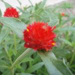 千日紅の花言葉は、 変わらぬ愛情・永遠の恋・不朽・不滅・安全・永遠の命 。別名ダンゴバナ・ダルマソウ・センニチボウズ種類も100種類以上あるそうですよ。