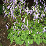 ミニギボウシの花花言葉は「落ち着き」「沈静」「静かな人」。