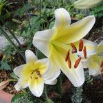 あれれ何時の間に咲いてたの?大輪の百合が隠れるように咲いてました。