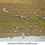 Oie cendrée (Anser anser) et Canard siffleur (Anas penelope)