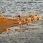 Grues cendrées (Grus grus) au Lac du Der le 01 octobre 2015.