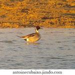 Canard pilet (Anas acuta)