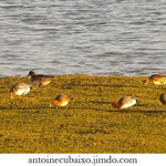 Canard siffleur (Anas penelope)