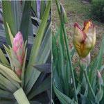 yucca im garten im kleinen rebberg