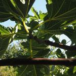 feigenbaum im garten der CASA LEONE