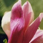 magnolienbllüte