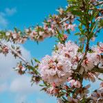 Almond blossoms on the way to Villafranca de los Barros