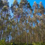 Beautiful eucalyptus forests