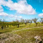 Almond grove on the way to Villafranca de los Barros