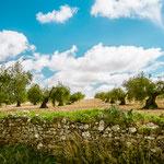 Olive trees on the way to Villafranca de los Barros