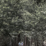 Eucalyptus forest near O Pedrouzo