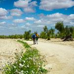Olive grove on the way to Villafranca de los Barros
