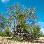 Old olive tree on the way to Villafranca de los Barros