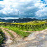 Beautiful vineyards in front of mountain foothills