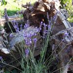 Lavendel für Schmetterlinge und viel Wurzelwerk für die Käferchen...