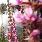 Teichanlage als Wasserquelle und zu Hause für Frösche, Mulche und Libellen ... hin und wieder wohnen auch Enten ein paar Tage hier.