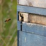 Unsere 2 Bienenschwärme in der Obstwiese werden gehegt und gepflegt...