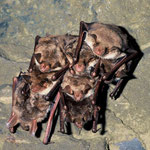 Hibernating group of Myotis myotis