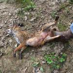 Femelle abattue entre Reygnac et Restey