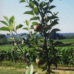 """Pommes """"Rose de Benauge"""" à Reygnac"""