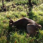 Chevreuil abattu dans les vignes