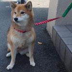 会員No。37 カノン 2008年4月生 柴犬の女の子 お散歩大好き