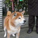 会員NO.116 伶太郎(りんたろう)平成16年8月19日生 柴犬の男の子好きなもの チーズ・チキン 伶は「おりこう」という意味の中国語読みです。おすわり・お手・ふせ・たっちも中国語でできるんだ。