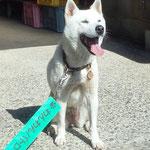 会員No.21 まり H171101生 紀州犬の女の子 ちびっこ大好き