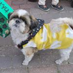 会員No.243 ししまる 8歳シーズーの男の子 保護犬でしたが今は幸せです 2015年10月のくるくるマーケットで入会しました。