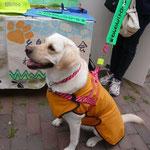 会員No.18-2 はーぶちゃん 平成23年11月7日生 ラブラドルレトリバーの女の子 九州盲導犬協会出身ヨロシクです!
