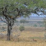 Osserva le gazzelle